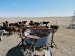Tank on a bale hauler and inquisitive cattle