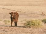 Nice steer calf
