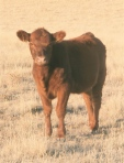 Pretty red calf